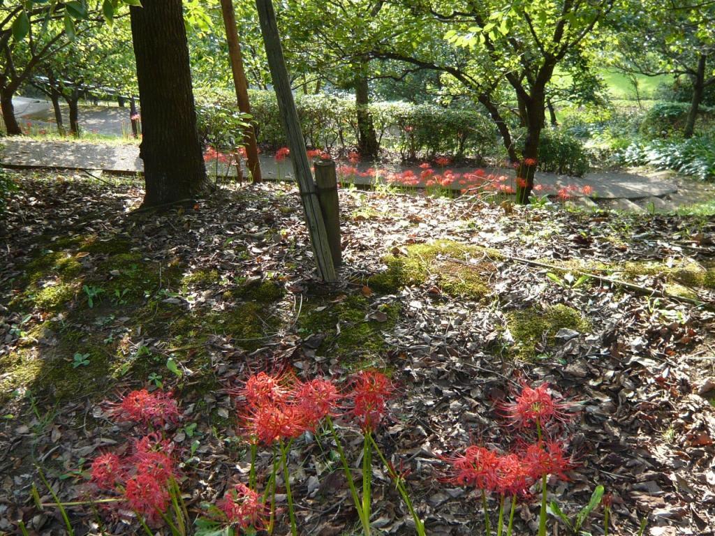 ヒガンバナ(彼岸花) 多摩 20070926