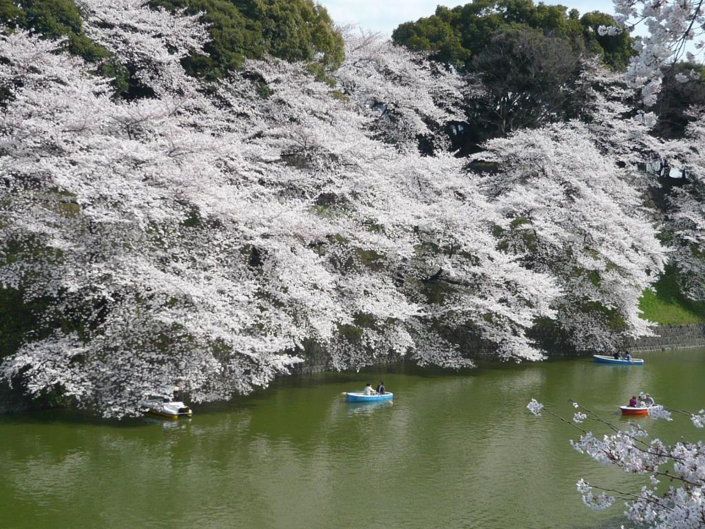 桜 千鳥が淵