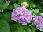 20080614 紫陽花